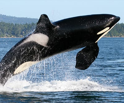 This well-known toothed whale can be seen off of Newfoundland and Labrador in the summer months. Look out for a stout, glossy, black and white body – and a big set of teeth.