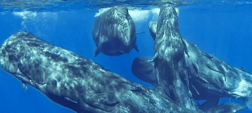 Adult Sperm Whales Have the Biggest Brains on Earth