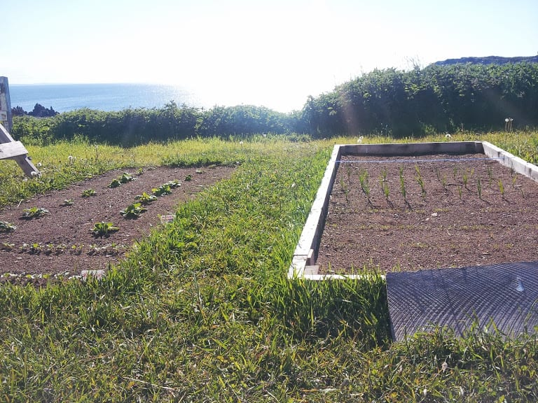 Newfoundland cabbage and turnip seedlings