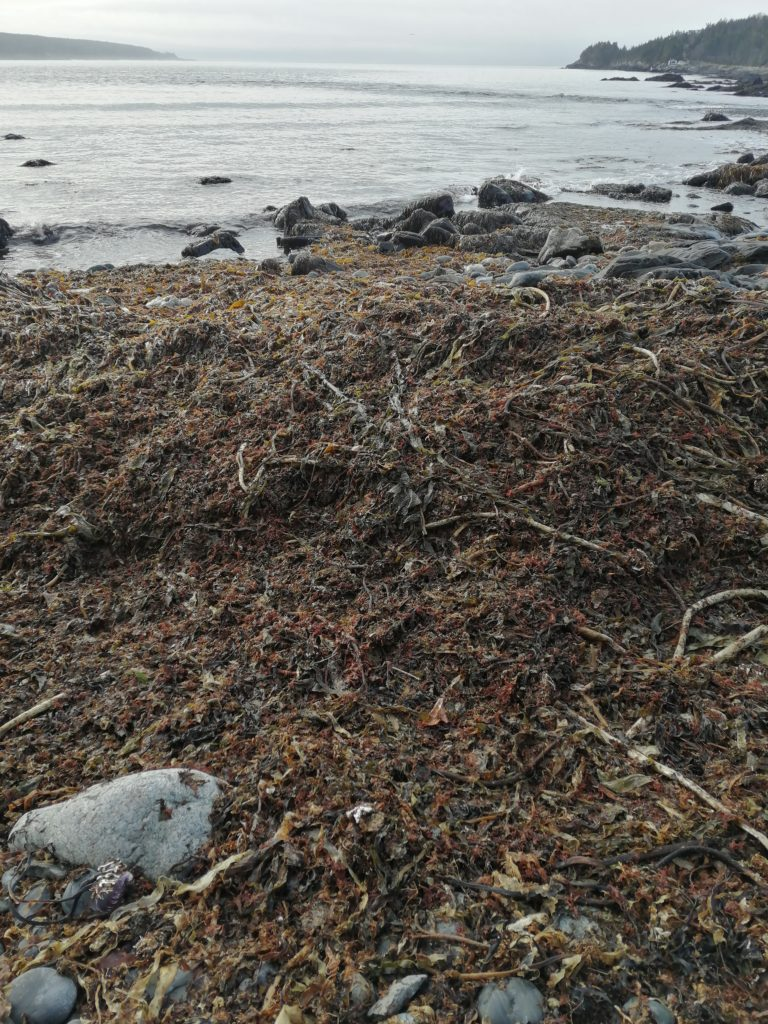 Kelp is a type of large, brown seaweed that many people use to help their garden, and more