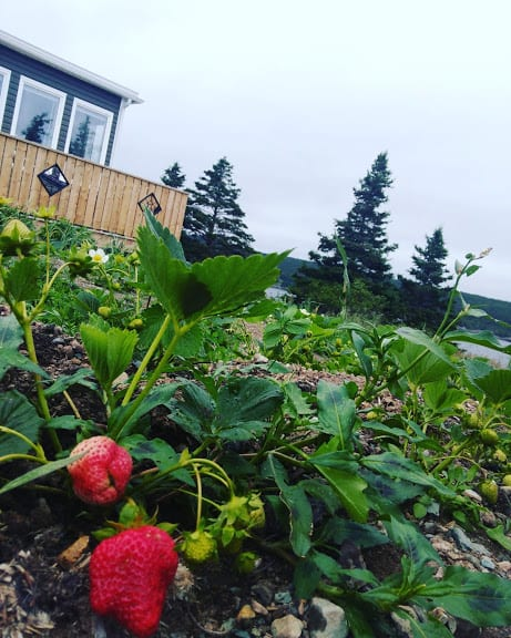 Growing Strawberries in Newfoundland