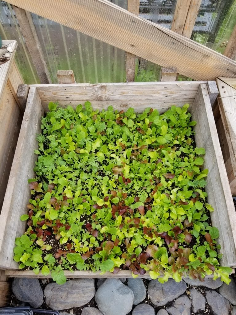 Growing our own mixed greens in a simple Newfoundland cold frame